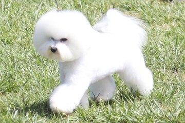 Bichon Lovers - Dog Breeders
