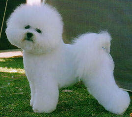 Bichonpoos And Bichons - Dog and Puppy Pictures
