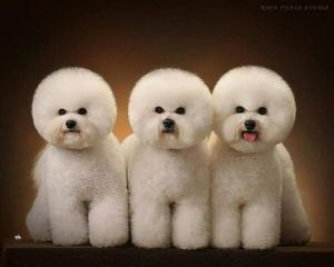 Great Cavachon Puppies! - Dog and Puppy Pictures