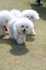CG's Bichons - Dog Breeders