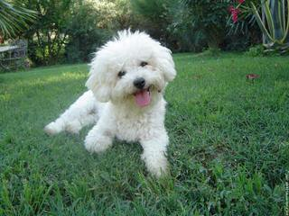 Bichon Frise Akc Puppies - Dog Breeders