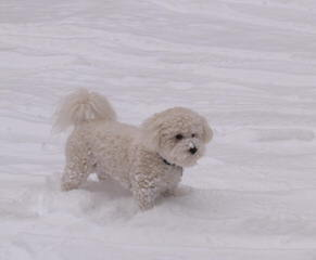 Bichon and Yorkie Lovers - Dog and Puppy Pictures