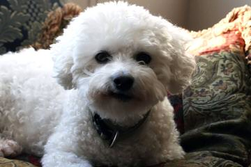 Litter Trained Reg. Bichon Frise Puppies - Dog Breeders