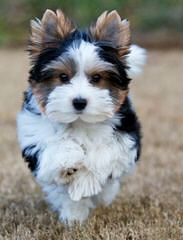 Biewers And Yorkshire Terriers Of Calaryn - Dog Breeders