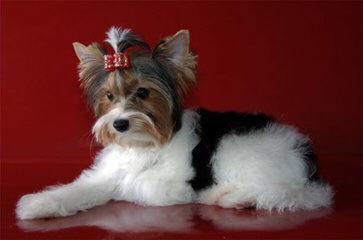 Sweet Biewers &Yorkies - Dog Breeders