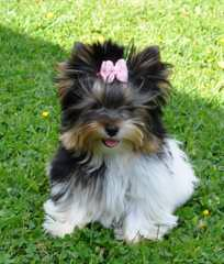 Biewer Yorkshire Terrier A La Pom Pon Puppies - Dog Breeders
