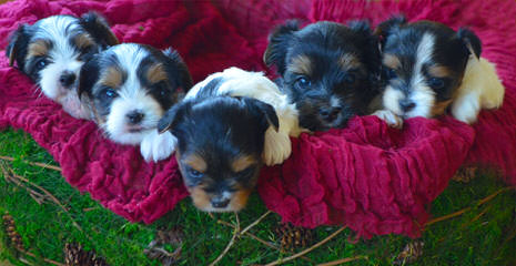 Over The Moon Biewer Terriers - Dog Breeders