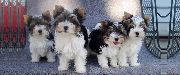 Pacific Rim Biewers - Dog Breeders