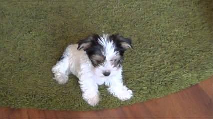 Biewer Yorkshire Terrier A La Pom Pon Puppies - Dog Breeders
