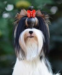 Adorable Biewers - Dog Breeders