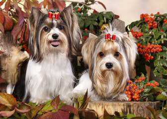 Adorable Biewers - Dog and Puppy Pictures