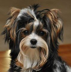 Sweet Biewers &Yorkies - Dog Breeders