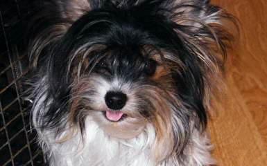 Nevaeh Yorkies & Biewers - Dog Breeders
