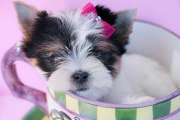 Fischer's Fairytale Akc Parti-Yorkies And Biewers - Dog Breeders