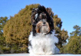 Wisteria Village Biewers - Dog Breeders