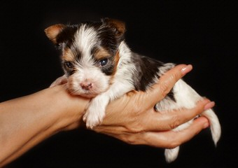 Pure Delight Biewers - Dog and Puppy Pictures