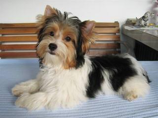 Kimas Bliss Canines - Dog Breeders