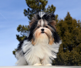 Calaryn Biewers and Yorkshire Terriers - Dog Breeders