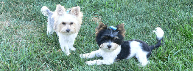 Fischer's Fairytale Akc Parti-Yorkies And Biewers - Dog Breeders