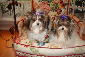 Absolutely Adorable Biewers & Original Ragdoll Cats Taking Deposits For Next Litter - Dog Breeders