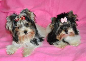 Sugar Baby Biewers - Dog Breeders