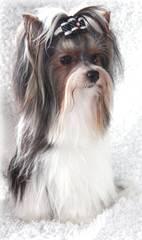 Heaven Sent Biewers - Dog Breeders