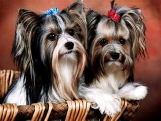Mi-Ki Puppies-Oldest Breeder(1992)-Show Or Pets Available - Dog Breeders