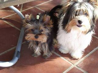 Yol's Yorkies - Dog Breeders