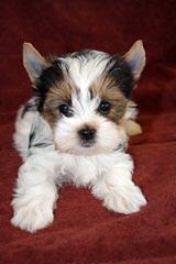 American Biewers of Tennessee - Dog Breeders
