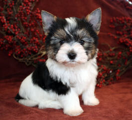 Pure Delight Biewers - Dog Breeders