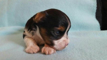 Biewers And Yorkshire Terriers Of Calaryn - Dog and Puppy Pictures