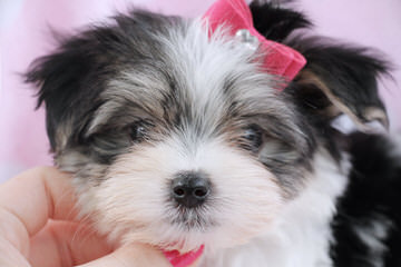 Calaryn Biewers and Yorkshire Terriers - Dog Breeders