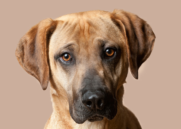 Black Mouth Cur Dogs and Puppies