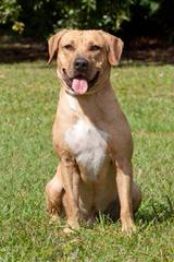 Heart Of Dixie Black Mouth Curs - Dog Breeders