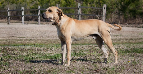 Hobbs Blackmouth Curs - Dog Breeders