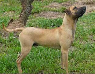 Givens Black Mouth Cur - Dog and Puppy Pictures