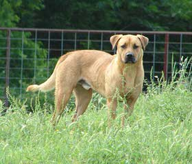 Heart Of Dixie Black Mouth Curs - Dog and Puppy Pictures