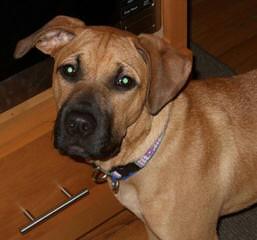 Bob Fogel Blackmouth Curs - Dog Breeders