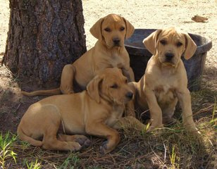 Yellow Black Mouth Cur Pups - Dog Breeders