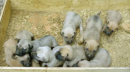 RADERS BLACK MOUTH CUR - Dog Breeders