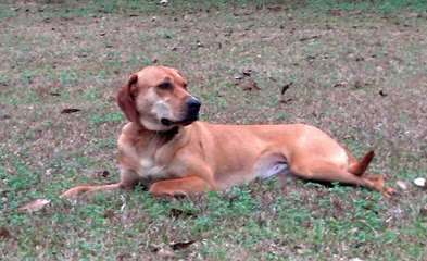 Pine Mountain Curs - Dog Breeders