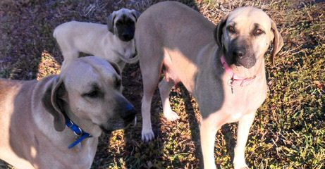 Yellow Blackmouth Cur - Dog Breeders