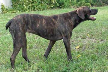Broad River Curs - Dog Breeders