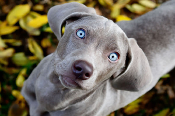 Blue Lacy Dogs and Puppies
