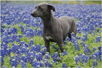 Graham's Blue Lacys - Dog Breeders