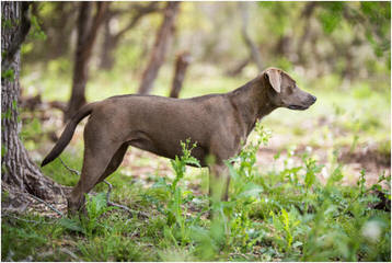 Catahoula/ Blue Lacy Pups - Dog Breeders