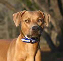 Blue Lacy Puppies - Dog Breeders