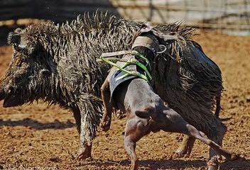 Bayed Blue Kennels - Dog Breeders