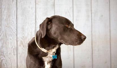American Blue Lacys - Dog Breeders