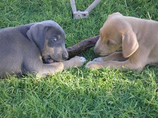 Graham's Blue Lacys - Dog Breeders